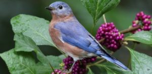 Bluebird-in-the-Beautyberry2